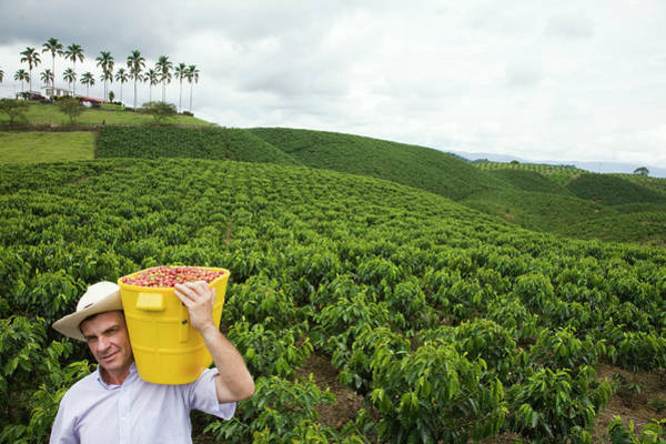 Camera Raw Photograph - Coffee Farmer In A Field Holding Fresh by Ligia Botero