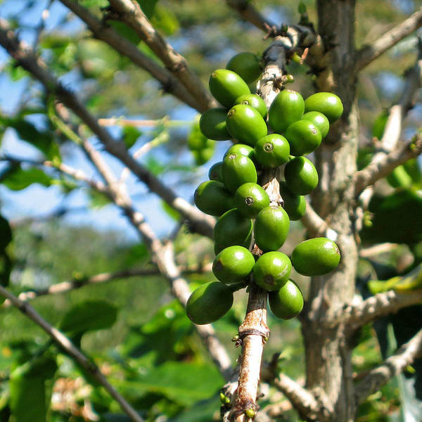 Wall Art - Photograph - Coffee Plant Berries by Jason's Travel Photography