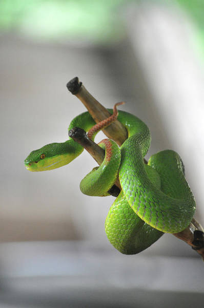 Photograph - Coiled Pit Viper Snake On Bamboo Stick by Oliver J Davis Photography