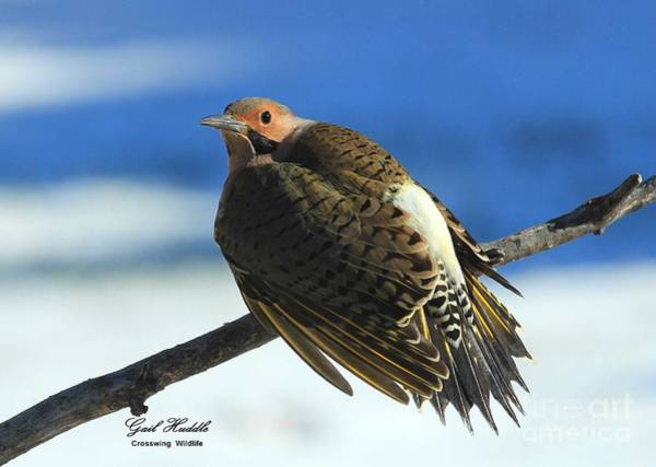 Northern Flicker Photograph - Cold Day Warm Sun by Gail Huddle
