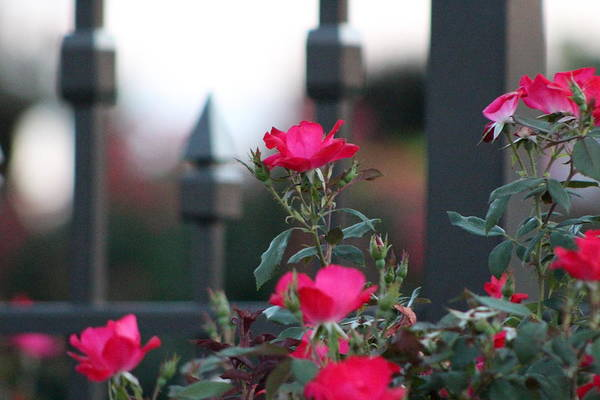 Photograph - Cold Iron And Soft Pink Petals by Colleen Cornelius