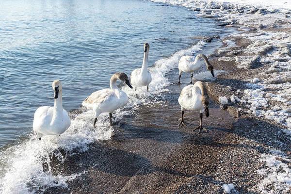 Photograph - Cold Swan Splash - Wild Trumpeters Family Walk On A Snowy Beach by Georgia Mizuleva