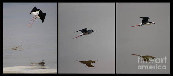 Photograph - Collage Of Black Neck Stilt Taking Flight At North Shore Salton Sea by Colleen Cornelius