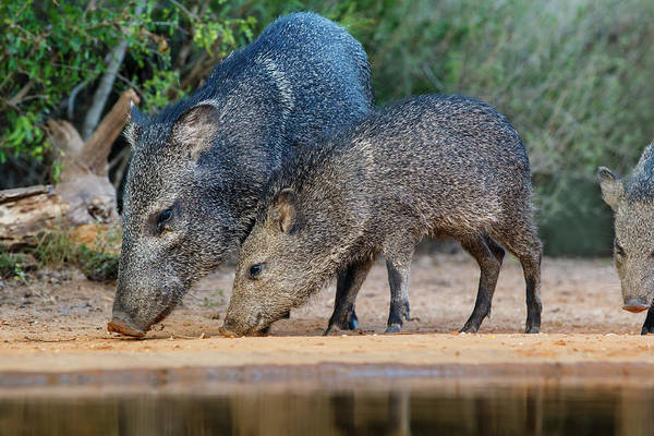 Wall Art - Photograph - Collared Peccary And Young Going by Larry Ditto