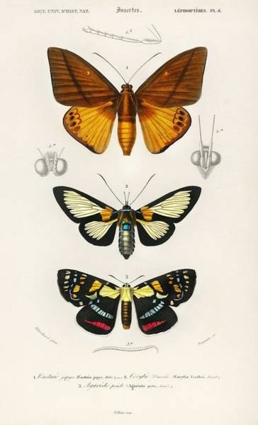 Wall Art - Painting - Collection Of Moths Illustrated By Charles Dessalines D' Orbigny   1806-1876  by Charles Dessalines