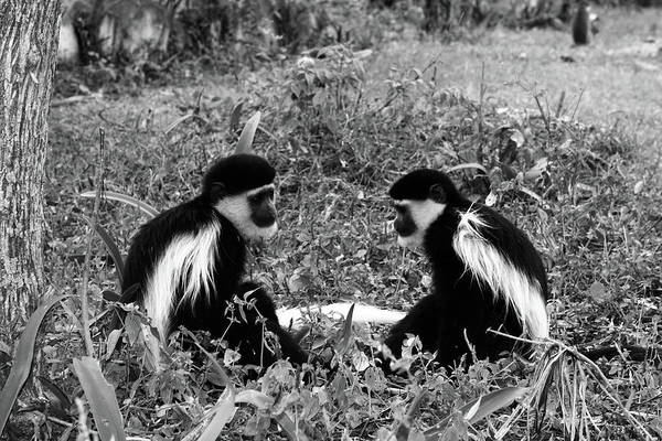 Photograph - Colobus Monkeys At Play by Aidan Moran