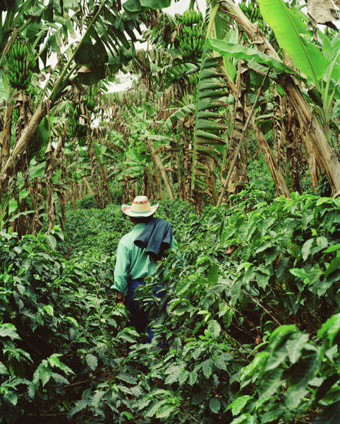 Sun Hat Photograph - Colombia, Farmer Walking In Coffee And by Livia Corona