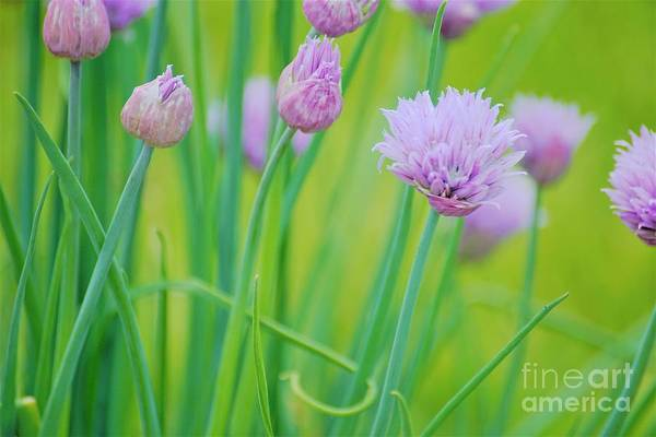 Photograph - Color Me Chives by Merle Grenz