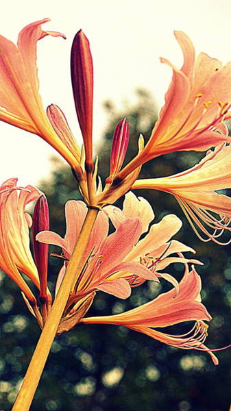 Wall Art - Photograph - Color Tone Pink Lady Lily by Kathy Barney
