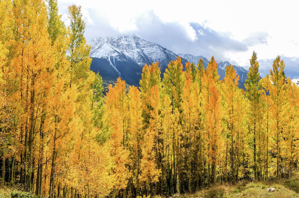 Colorado Aspens And Mountains 1 Art Print