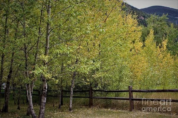 Photograph - Colorado Aspens by Tammie J Jordan