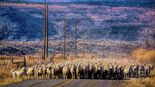 Photograph - Colorado Autumn Sheepherding by Janice Pariza