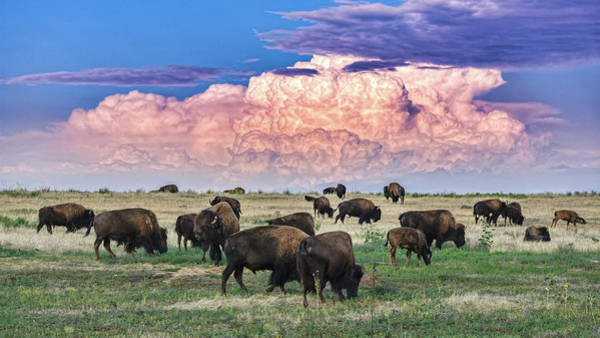 Colorado Wildlife Wall Art - Photograph - Colorado Bison by Christopher Thomas