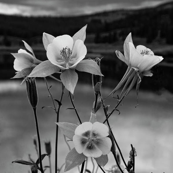 Wall Art - Photograph - Colorado Columbines In Black And White by Dave Dilli
