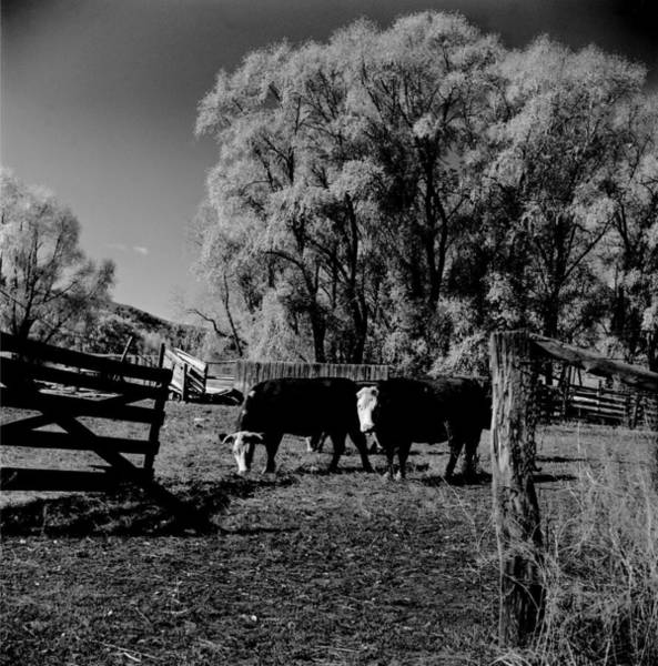 Cow Photograph - Colorado Farm by Robert Natkin