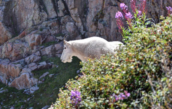 Wall Art - Photograph - Colorado Mountain Goat by Andrew Terrill