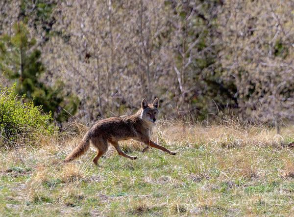 Photograph - Colorado Rocky Mountain Coyote by Steve Krull