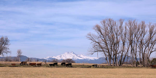 Photograph - Colorado Springtime Cattle by James BO Insogna