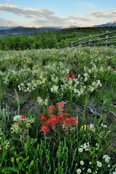Photograph - Colorado Wildflowers Near Dallas Creek Road by Ray Mathis