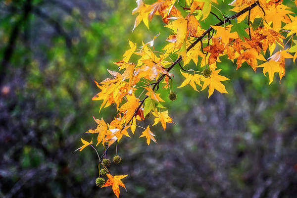Photograph - Colored Foliage by Roberto Pagani