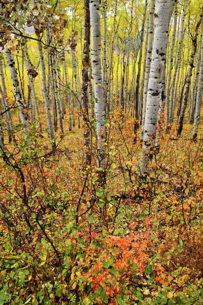 Photograph - Colorful Aspen Grove Near Ridgway Colorado by Ray Mathis