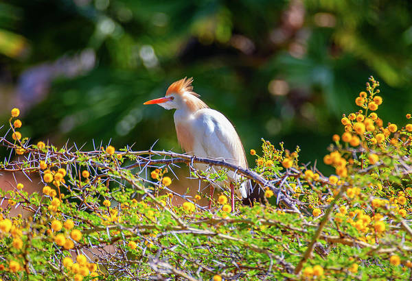 Photograph - Colorful Cattle Egret by Anthony Jones