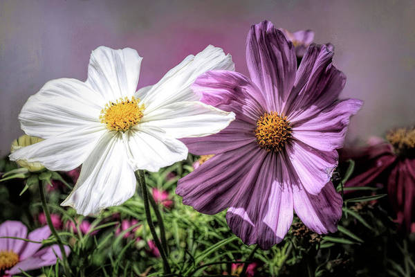 Wall Art - Photograph - Colorful Cosmos by Donna Kennedy
