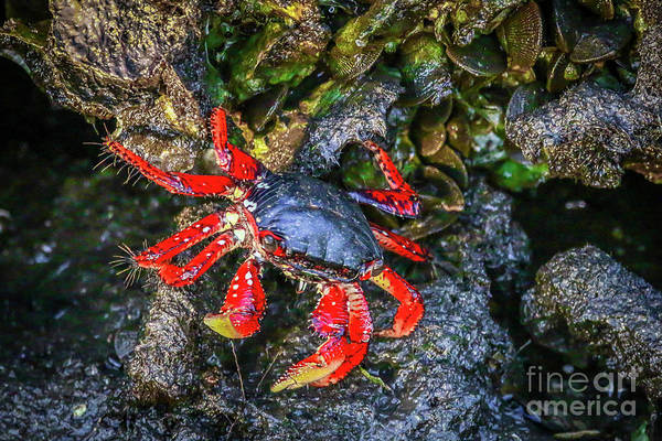 Photograph - Colorful Crab On Rocks by Tom Claud