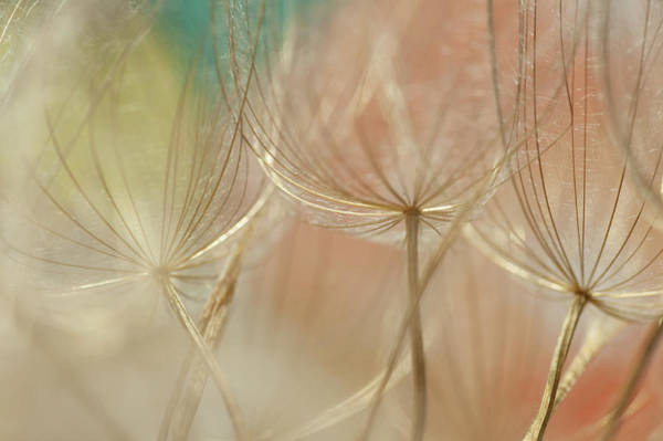 Wall Art - Photograph - Colorful Dandelions by Iris Greenwell