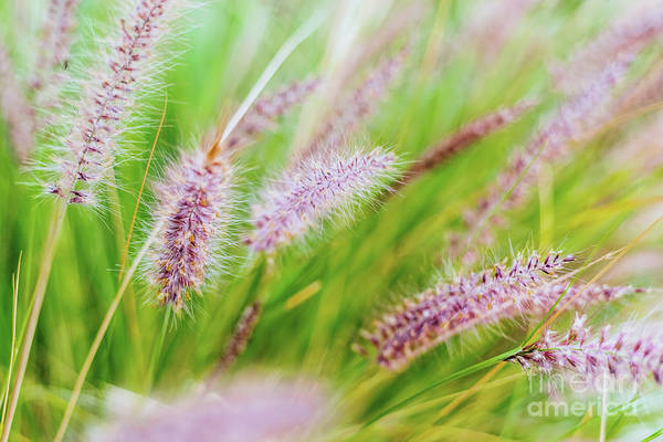 Colorful Flowers In Purple Spikes, Purple Fountain Grass, Close- Art Print