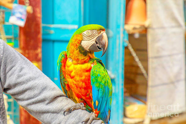 Photograph - Colorful Parrot Bird Souq by Benny Marty