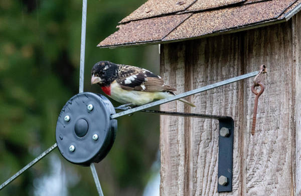 Photograph - Colorful Red-breasted Grosbeak  by Ricky L Jones