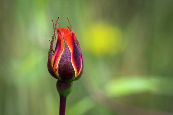 Photograph - Colorful Rosebud by Robert Potts