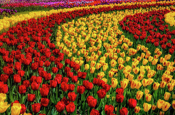 Wall Art - Photograph - Colorful Rows Of Tulips by Garry Gay