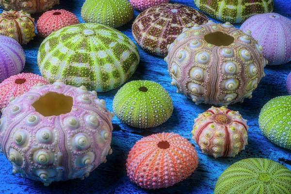 Wall Art - Photograph - Colorful Sea Urchins by Garry Gay