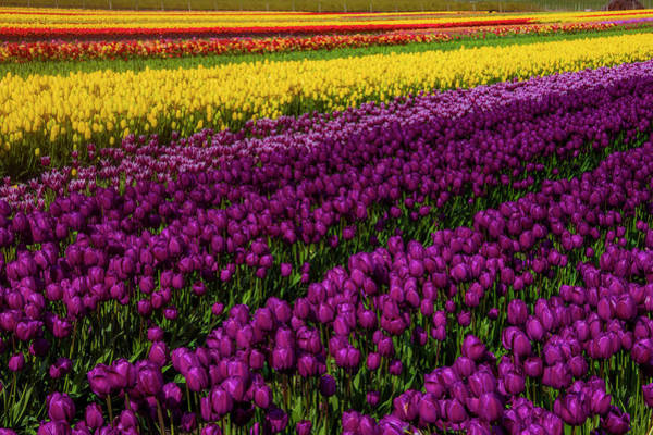 Wall Art - Photograph - Colorful Spring Tulip Fields by Garry Gay