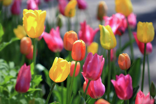 Photograph - Colorful Tulips by Angela Murdock