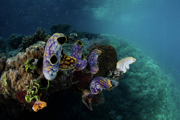 Wall Art - Photograph - Colorful Tunicates Grow On A Coral Reef by Ethan Daniels