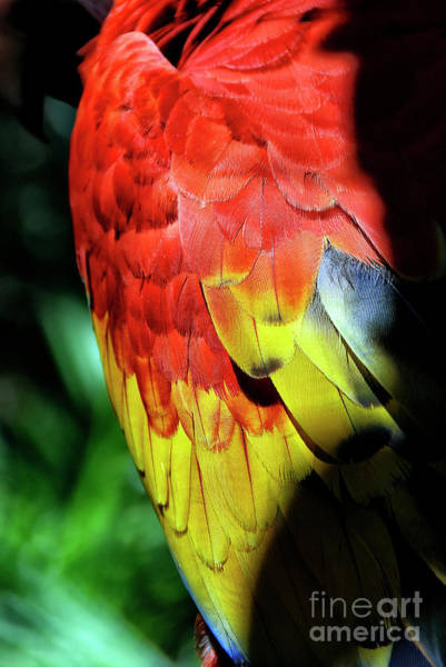 Photograph - Colorful Wing Feathers Of A Tropical Parrot. by Joaquin Corbalan