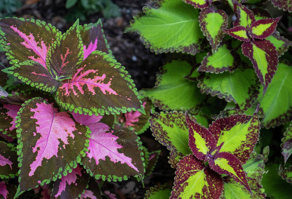 Wall Art - Photograph - Colorific Coleus by Suzanne Gaff