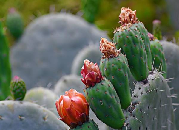 Photograph - Colorsof Cacti 2 by Fraida Gutovich
