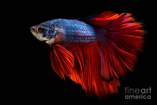 Colourful Betta Fish,siamese Fighting Art Print