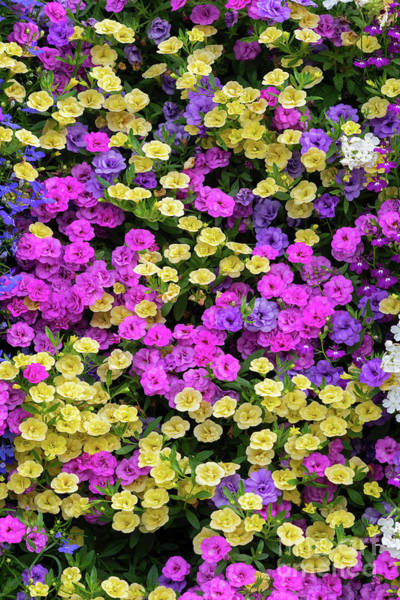 Photograph - Colourful Calibrachoa Flower Wall by Tim Gainey