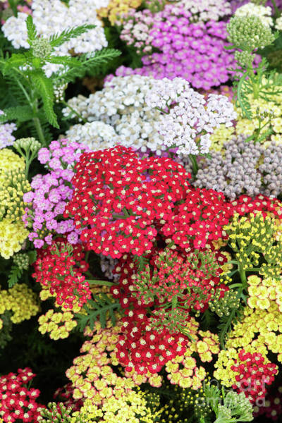 Wall Art - Photograph - Colourful Yarrow Flowers  by Tim Gainey