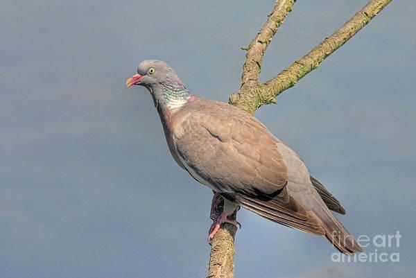 Pigeon Photograph - Columba Palumbus by John Edwards