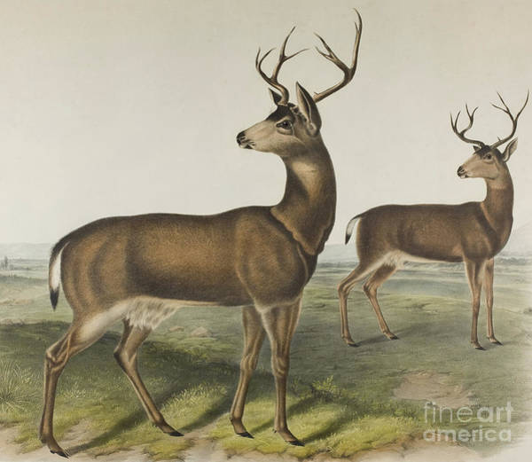 Antlers Drawing - Columbian Black-tailed Deer By Audubon by John James Audubon