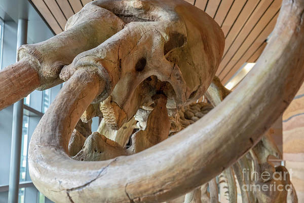 Photograph - Columbian Mammoth by Jim West