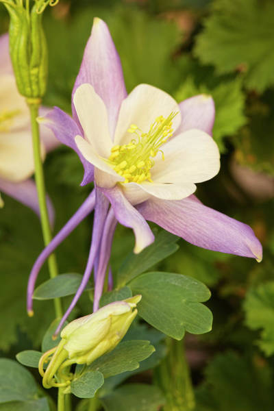 Wall Art - Photograph - Columbine Flower, Arizona by Adam Jones
