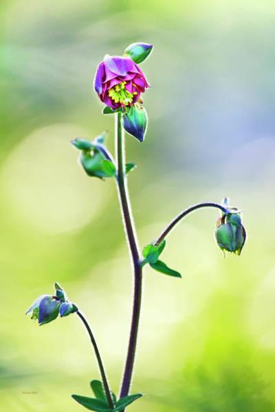 Photograph - Columbine Flower by Christina Rollo