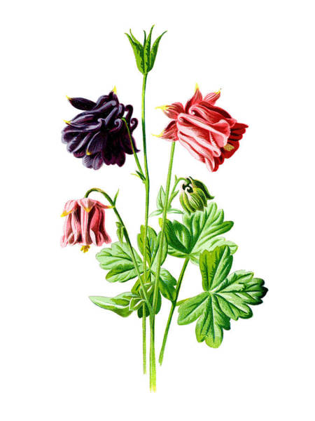 Mixed Media - Columbine Flower by Naxart Studio